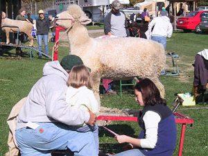 03_nysswf_sheep_grooming_large