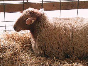 03_nysswf_sheep2_large