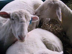 03_nysswf_sheep_large